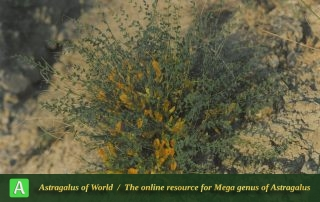 Astragalus aharicus 2 - Photo by Maassoumi