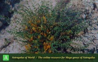 Astragalus aharicus - Photo by Maassoumi
