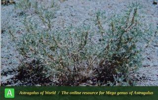 Astragalus albispinus 2