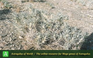 Astragalus albispinus - Photo by Maassoumi