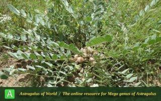 Astragalus allectus 2 - Photo by Tavakoli