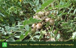 Astragalus allectus 3 - Photo by Tavakoli