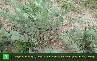 Astragalus allectus - Photo by Tavakoli