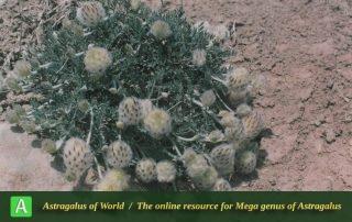 Astragalus altiusculus - Photo by Maassoumi