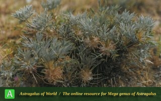 Astragalus andalanicus - Photo by Maassoumi