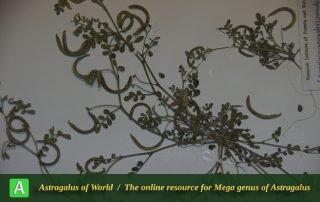 Astragalus annularis - Photo by Mozaffarian