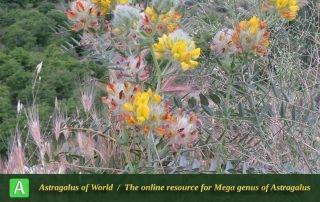 Astragalus arasbaranensis 2 - Photo by Bidar