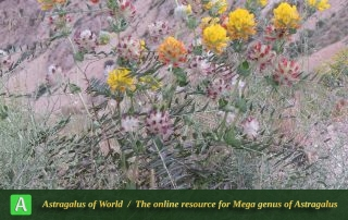 Astragalus arasbaranensis - Photo by Bidar