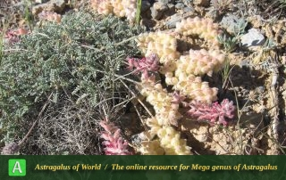 Astragalus argyrostachys - Photo by Bagheri