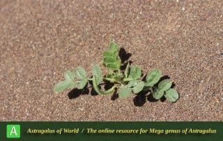Astragalus arpilobus subsp. arpilobus 2 - Photo by Taheria