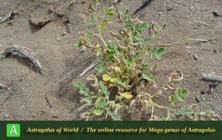 Astragalus arpilobus subsp. arpilobus 5 - Photo by Maassoumi