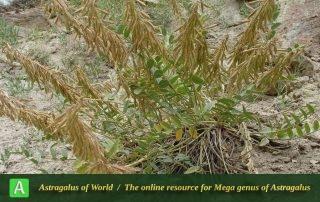 Astragalus askius - Photo by Mozaffarian