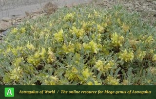 Astragalus aureus 4 - Photo by Mozaffarian