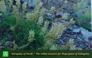 Astragalus aznabjurticus