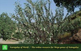 Astragalus baba-alliar 2