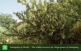 Astragalus baba-alliar 3