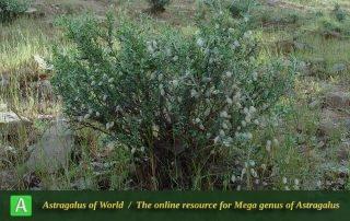 Astragalus baba-alliar 4