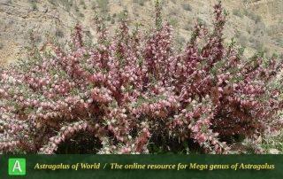 Astragalus baba-alliar 5 - Photo by Mozaffarian