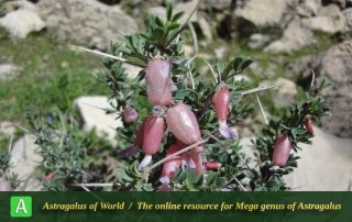 Astragalus baba-alliar - Photo by Dinarvand
