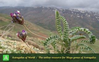 Astragalus beckii - Photo by Bidar
