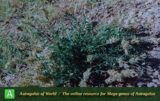 Astragalus belgheisicus