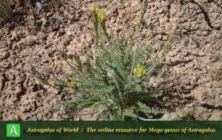 Astragalus belgheisicus 2 - Photo by Eftekhar