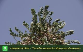 Astragalus biovulatus - Photo by Mozaffarian