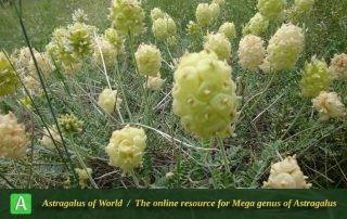 Astragalus bodeanus - Photo by Tavakoli