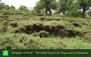 Astragalus brachycalyx subsp. brachycalyx 2 - Photo by Tavakoli