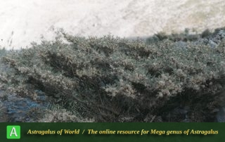 Astragalus brachycalyx subsp. brachycalyx 3 - Photo by Maassoumi