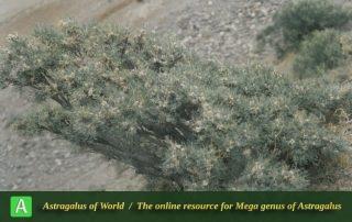 Astragalus brachycalyx subsp. brachycalyx 4 - Photo by Maassoumi