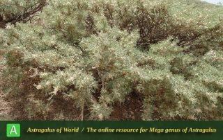Astragalus brachycalyx subsp. brachycalyx - Photo by Mozaffarian