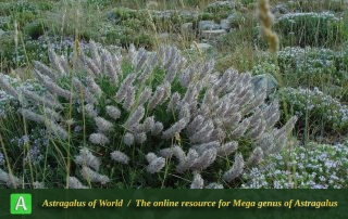 Astragalus brunsianus 2 - Photo by Maassoumi