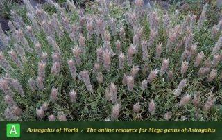 Astragalus brunsianus 3 - Photo by Mozaffarian