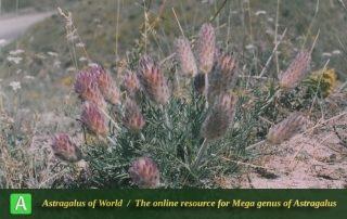 Astragalus brunsianus - Photo by Maassoumi