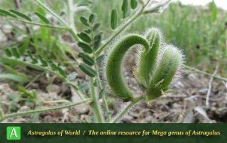 Astragalus camptoceras 2 - Photo by Bidar