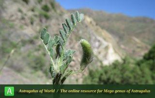 Astragalus camptoceras 3 - Photo by Bidar