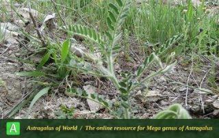 Astragalus camptoceras - Photo by Bidar