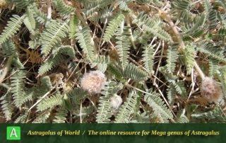 Astragalus campylanthus 10 - Photo by Eftekhar