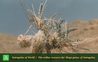 Astragalus campylanthus 11 - Photo by Maassoumi