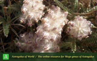 Astragalus campylanthus 2 - Photo by Eftekhar