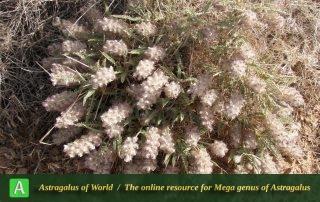 Astragalus campylanthus 3 - Photo by Eftekhar
