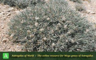 Astragalus campylanthus 4 - Photo by Maassoumi