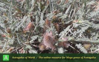 Astragalus campylanthus 5