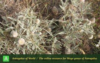 Astragalus campylanthus 6 - Photo by Eftekhar
