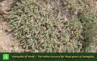 Astragalus campylanthus 8 - Photo by Eftekhar