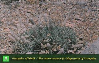 Astragalus campylanthus 9 - Photo by Maassoumi