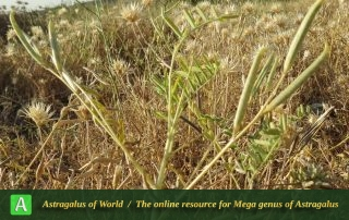 Astragalus campylorhynchus 2 - Photo by Maassoumi
