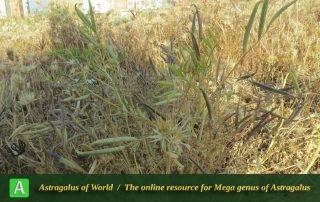 Astragalus campylorhynchus 3 - Photo by Maassoumi