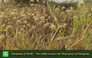 Astragalus campylorhynchus 4 - Photo by Maassoumi